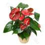 consegna-fiori-a-domicilio-pianta-anthurium