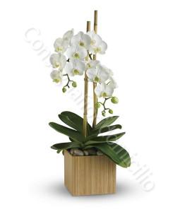 consegna-fiori-a-domicilio-orchidea-phalenopsis