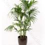 consegna-fiori-a-domicilio-pianta-di-kentia