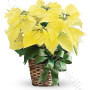 consegna-fiori-a-domicilio-stella-di-natale-gialla