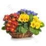 consegna-fiori-a-domicilio-cesto-di-primule-miste-colorate
